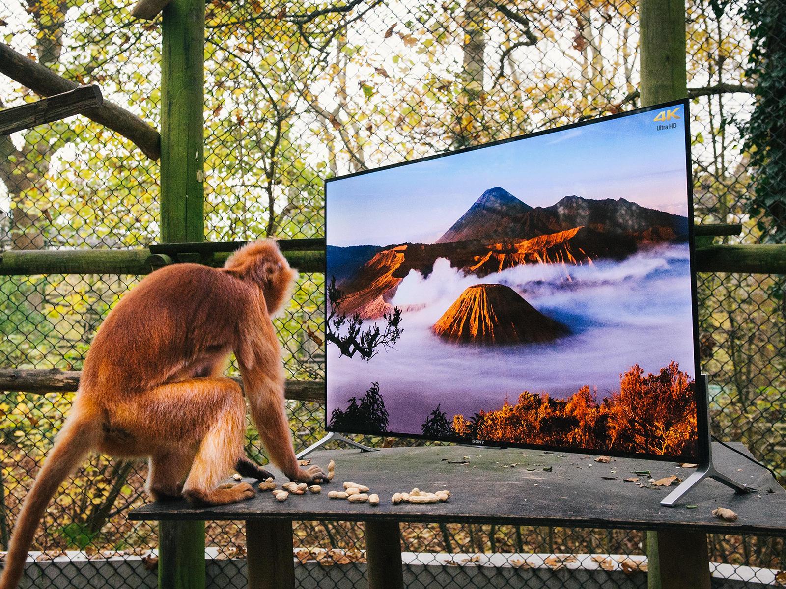Apen kijken naar Sony 4K-tv voor herintroductie in het wild